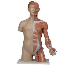Life-Size Dual Sex Torso with Muscle Arm (33 Part)