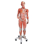 3B Scientific 3/4 Life-Size Female Human Muscle Model without Internal Organs on Metal Stand, 23 Part Smart Anatomy