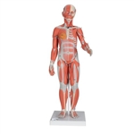 3B Scientific 1/2 Life-Size Complete Human Female Muscle Figure, without Internal Organs, 21 Part Smart Anatomy