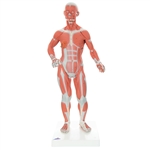 3B Scientific 1/3 Life-Size Human Muscle Figure, 2 Part Smart Anatomy