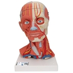 3B Scientific Head and Neck Musculature Model, 5 Part Smart Anatomy