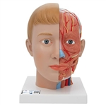 3B Scientific Human Head Model with Neck, 4 Part Smart Anatomy