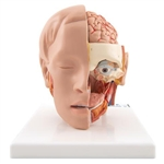 3B Scientific Human Head Model, 6 Part Smart Anatomy