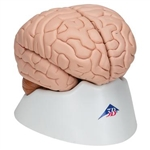 3B Scientific Human Brain Model, 8 Part Smart Anatomy