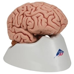 3B Scientific Classic Human Brain Model, 5 Part Smart Anatomy