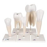 3B Scientific Human Tooth Models Set Classic Series, 5 Models Smart Anatomy