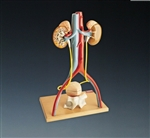 Deluxe Urinary System Model