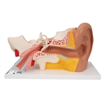 3B Scientific Human Ear Model, 3 Times Life-Size, 4 Part Smart Anatomy