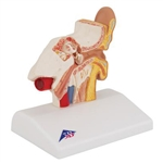 3B Scientific Human Ear Model for Desktop, 1.5 Times Life-Size Smart Anatomy