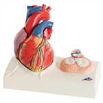 3B Scientific Life-Size Human Heart Model, 5 Parts with Representation of Systole Smart Anatomy