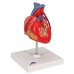 3B Scientific Classic Human Heart Model with Bypass, 2 Part Smart Anatomy