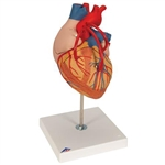 3B Scientific Human Heart Model with Bypass, 2 Times Life-Size, 4 Part Smart Anatomy