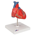 3B Scientific Classic Human Heart Model, 2 Part Smart Anatomy