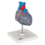 3B Scientific Classic Human Heart Model with Conducting System, 2 Part Smart Anatomy