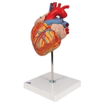 3B Scientific Human Heart Model, 2 Times Life-Size, 4 Part Smart Anatomy