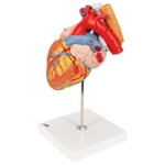 3B Scientific Human Heart Model with Esophagus and Trachea, 2 Times Life-Size, 5 Part Smart Anatomy