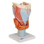 3B Scientific Human Larynx Model, 2 Times Full-Size, 7 Part Smart Anatomy
