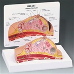 Breast Cross-Section Model