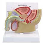 Male Pelvis Section Model