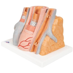3B MICROanatomy™ Artery and Vein (14-Times Enlarged)