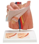 3B Scientific Inguinal Hernia Urology Model Smart Anatomy