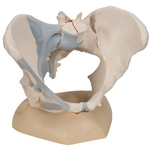 Female Pelvis with Ligaments (3 Part)
