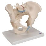3B Scientific Male Pelvis Skeleton Model, 3 Part Smart Anatomy