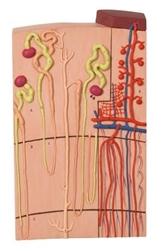 3B Scientific Nephrons and Blood Vessels Model, 120 Times Full-Size Smart Anatomy