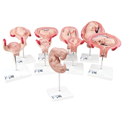 Deluxe 3B Scientific® Pregnancy Series (9 Models)