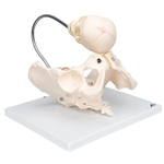 3B Scientific Childbirth Demonstration Pelvis Skeleton Model with Fetal Skull Smart Anatomy