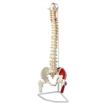 Nasco Flexible Vertebral Column with Femur Heads, Muscle Insertions and Removable Sacral Chest