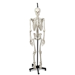 Nasco Hanging Skeleton with Natural Human Casting