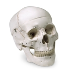 Nasco Human Skull Model - Numbered