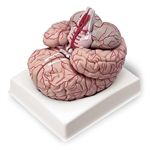 Nasco Life-Size Brain with Arteries