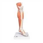 3B Scientific Life-Size Lower Muscle Leg Model with Detachable Knee, 3 Part Smart