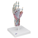 3B Scientific Hand Skeleton Model with Ligaments & Muscles Smart Anatomy