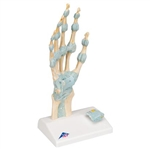 3B Scientific Hand Skeleton Model with Ligaments & Carpal Tunnel Smart Anatomy