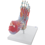 3B Scientific Foot Skeleton Model with Ligaments & Muscles Smart Anatomy