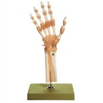 Functional Model of the Hand and Wrist