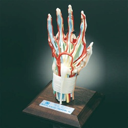 Deluxe Hand and Wrist Model