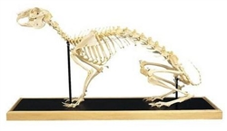 Hare Skeleton Model (Lepus europaeus)