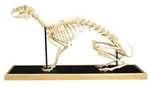 Dog Skeleton Model (Canis domesticus)