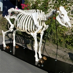 Cow Skeleton (Bos taurus)