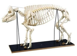 Pig Skeleton Model (Sus scrofa)