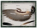 Wing and Feathers of a Dove