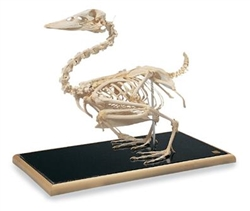 Mallard Duck Skeleton