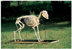 Sheep Skeleton Model