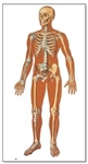 The Human Skeleton Chart (Front) (No Wooden Rods)