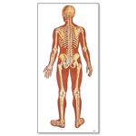 3B Scientific Anatomical Human Skeleton Chart