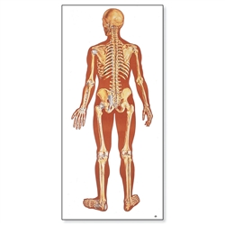 The Human Skeleton Chart (Rear)